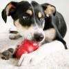 Могут ли собаки есть яблоки?