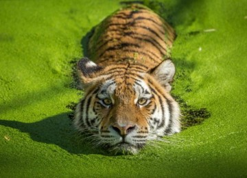 Белые тигры: загадка природы