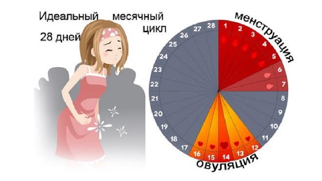 Нормальный цикл месячных
