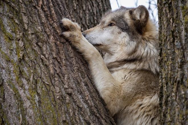 Охота волков – интересные факты