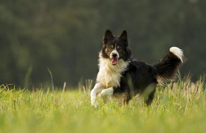 А для чего собаке хвост?